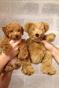 AKC Toy Teddy Bear Poodle 3 pounds