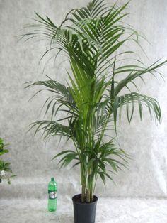 Die Kentiapalme ist eine ideale und beliebte Zimmerpflanze. Ihre langen, schmal gefiederten Blätter sind von einem dunklen, saftigen Grün. Sie verträgt keine pralle Sonne und kann sogar an schattigen Plätzen...