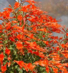 California fuchsia works well in California gardens from San Francisco, Los Angeles, San Diego and into Fresno.  is loved by hummingbirds, butterflies and people. California fuchsia plants grow will in most California gardens with no additional water.