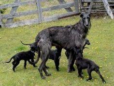 Scottish Deerhound mom and puppies Pet Dogs, Dogs And Puppies, Dog Cat, Doggies, Irish Wolfhound Dogs, Animals And Pets, Cute Animals, Scottish Deerhound, Dog Runs