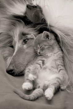 Collie with kitten