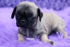 """Fairytailpuppies """"where pets are family too - THELMA"""