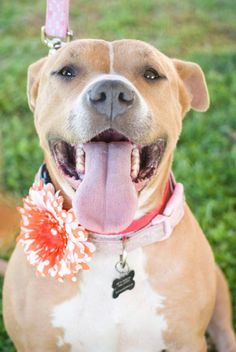 Wendy is an adoptable Pit Bull Terrier searching for a forever family near Fresno, CA. Use Petfinder to find adoptable pets in your area.