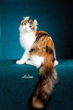 """GP Procurlharem Looking For Mr. Goodcurl """"GOODY"""" Owned by CFA Allbreed judge, Hilary Helmrich, AZ Granded in 2001 CFA show season"""
