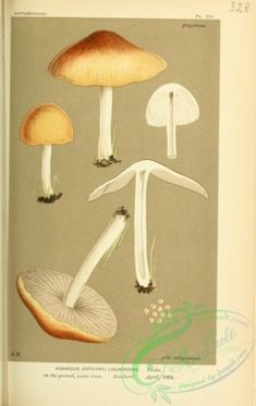 agaricus (entoloma) liquescens - high resolution image from old book. Picture Wall, Picture Books, Old Book Pages, Art Clipart, Plant Wall, Picture Collection, Botany, Wall Collage, Flower Decorations