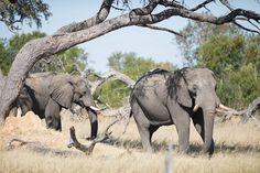 elephant-safari-zimbabwe
