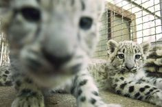 Newborn snow leopards lay in their hutch at the Szeged Zoo, south of Budapest, Hungary. Cute Little Animals, Baby Animals, Adorable Animals, Big Cats, Cool Cats, Animal Pictures, Cute Pictures, Baby Snow Leopard, Houston Zoo