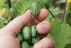 From Backyard Diva: Cucamelons also known as mouse melon and Mexican sour gherkin (Melothria scabra): Are the size of grapes, look like miniature watermelons and taste of cucumbers and lime. But the bizarre-looking 'cucamelon' is not some genetically-modified hybrid grown in a laboratory it is an heirloom that has been eaten in Mexico for centuries. Eat in salads and more! Cucuamelons can now be grown in tubs, pots, or growbags. They take two to three months to mature.