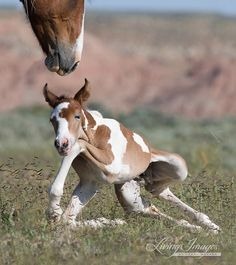 This precious little wild foal is struggling to get up on his long legs as his mother stands protectively over him. His name is Remington and his mother is Tradebead, and they are in the McCullough Peaks Wild Horse Herd in northern Wyoming.