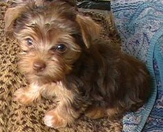 "Teacup Chocolate Yorkie Puppy ""Snickers"" at 8 weeks."