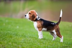 Beagle. Perfection!