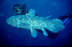 Coelacanth!   a classic photo