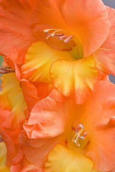orang sherbet, colors, oranges, orange flowers, flowers orange, gladiola flower, gladiolus, garden, color photography
