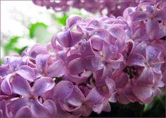 Flieder Inhaltsstoff, Flieder Parfums und ätherische Öle Syringa vulgaris (Oleaceae)