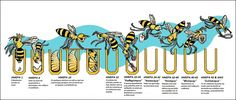 Great visual of a bee's life cycle. This is for a worker bee.the queen bee's egg to birth cycle is slightly shorter; a drone bee's cycle slightly longer. (credit: Western Beekeepers) Bee Life Cycle Here's Honey Bee Life Cycle, Drone Bee, Bee Hive Plans, Worker Bee, Buzzy Bee, Raising Bees, I Love Bees, Busy Life, Insects