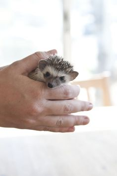 Morning Routine - just more reasons why i need a hedgehog in my life. i'm looking at you @Elizabeth Lacy to help make this dream a reality. [when is my deadline?]