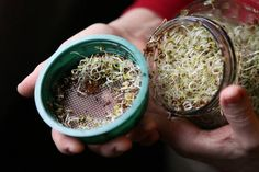 See how to grow alfalfa sprouts in your kitchen