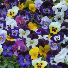 Viola 'Sorbet XP T&M' (Garden-Ready) - Perennial & Biennial Plants - Thompson & Morgan