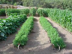 big veggie garden! Wish I had room for a bigger one. Tomatoes, Corn, Cucumbers, Peas, Lettus, Onions, Zucchini, cantalope, pumpkins,