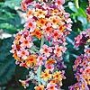 Kaleidoscope Butterfly Bush got it for 2011, hopefully, it will look like this for 2012.