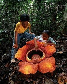 Rafflesia Arnoldi, the biggest flower in the world from Sumatra, #Indonesia  Photo by: IG @visitbengkulu