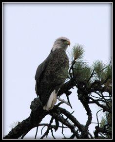 Bale Eagle ~ Silver Lake ~ Shapleigh