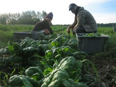 reroot Berkshire Pork, Farmer, Garden Sculpture, Outdoor Decor, Farmers