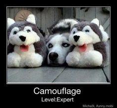 joking husky meme | Siberian Husky meme