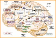one of the BEST resources I've seen for brain-mapping ~neuro~ Speech Language Pathology, Speech And Language, Occupational Therapy, Speech Therapy, Mapeamento Cerebral, Brain Mapping, Apraxia, Anatomy And Physiology, Brain Anatomy