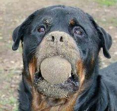 """Got dirt?"" #dogs #pets #Rottweilers Facebook.com/sodoggonefunny"
