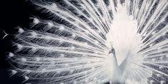 Peacock by Tim Flach #peacock #bird #animal #photography