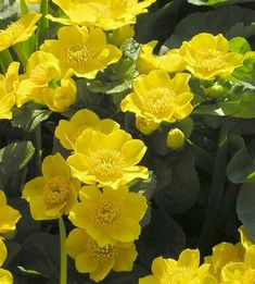 How to Grow Cowslip, Marsh Marigold, and other Caltha Plants. Cowslips should be grown in moist soil, reach a height of 30 cm, and have pink buttercup like flowers. Partial Shade Plants, Sun Loving Plants, Marsh Marigold, Soil Ph, Hardy Perennials, Clay Soil, Wildflowers, Spring Time, Deer