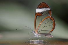 Glasswing butterfly - Beautiful !