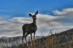 Dear Deer Animation by *Joe-Lynn-Design on deviantART Mule Deer, My Animal, Photo Manipulation, Animal Photography, Worlds Largest, My Photos, Animation, Deviantart, Gallery