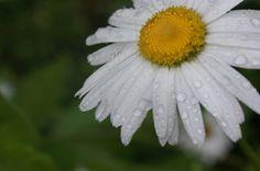 flor margarita DFC.