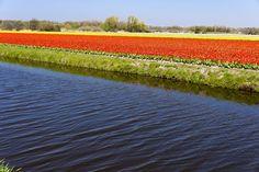 flowers fields in holland