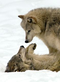 Wolves at play