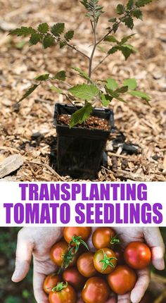 A step by step picture tutorial on how to transplant tomato seedlings to the garden the right way so you can grow a ton of tomatoes! Organic Gardening, Gardening Tips, Vegetable Gardening, Veggie Gardens, Starting Vegetable Seeds, Seed Starting, Tomato Seedlings, Tomato Plants, Planting Seeds Quotes