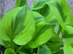 Grand Tiara Hosta - second year potted