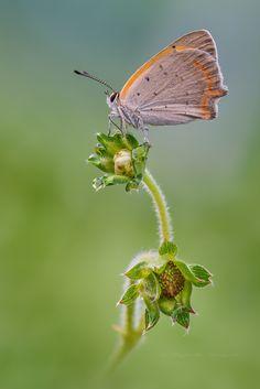 Lycaena phlaeas - null