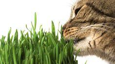 Les pousses de graminées (comme le blé ou l'orge) n'ont aucun effet psychoactif. Mais elles sont indispensables au bien-être de votre chat, qui en mange dès qu'il en ressent le besoin.