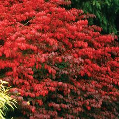 Fire Ball Euonymus alatus Shrub - Just 5 feet high, it is the perfect size for a foundation planting, hedge, barrier, or back-of-the-border standout.