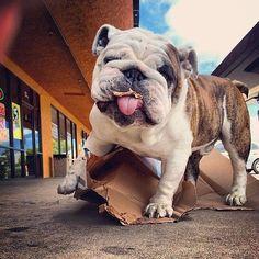 Mine loves cardboard too! #BestPuppies