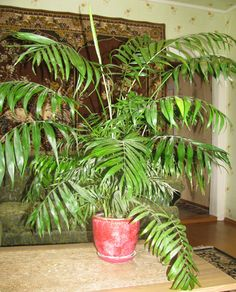 Is it true that dracaena poisonous to cats and dogs is for Indoor gardening with cats