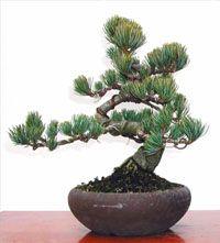 pinus parviflora - pino blanco japonés - bonsai