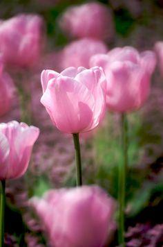 Love the pink tulip Pink Tulips 1ba6beb217