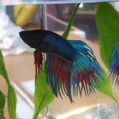 Blue Crown tail Betta
