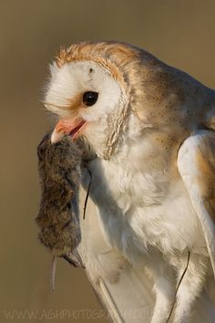 """Barn Owls are excellent for reducing the rodent population around the farm. Build them houses and they will come!""""Barn Owl with Prey"""" by Tony House"""