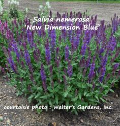 Salvia nemerosa 'New Dimension Blue' – Sauge superbe – Perennial Garden Sage - Jardins Michel Corbeil Zone 5, Salvia, Perennials, Herbs, Backyard, Plants, Curry, Outdoors, Gardening