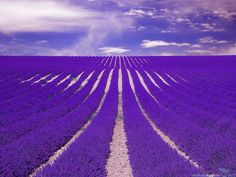 Beautiful lavender fields in Provence will force you to put a huge grin from ear to ear